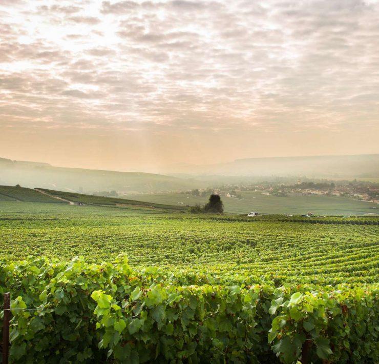 Nous découvrons les vignes du Champagne de Telmont